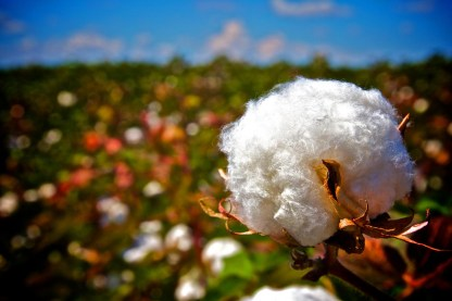 OUTBACK cotton (1)